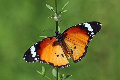 African monarch (Danaus chrysippus orientis)