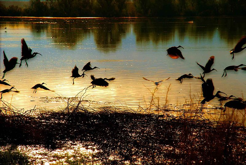 Birds flying over a pond in sunset