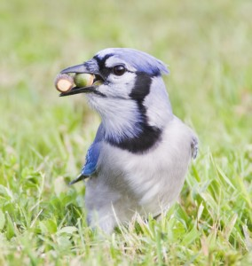 Blue Jay with Acorn