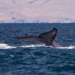 Blue_whale_tail