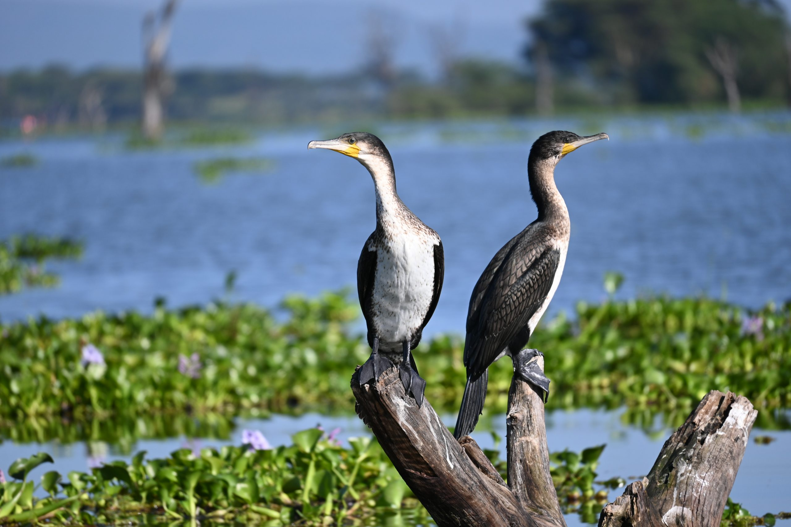 Cormorants in Africa