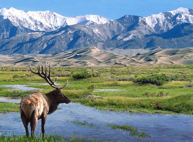 elk_at_big_spring_creek_great_sand_dunes_national_park