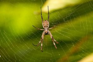 Golden_Orb_spider_and_web