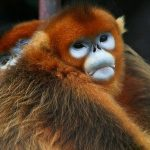 Golden_Snub-nosed_Monkeys_2