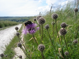 Greater_Knapweed