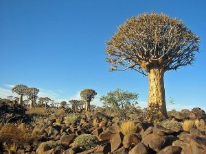 Kokerboom Forest Namibia