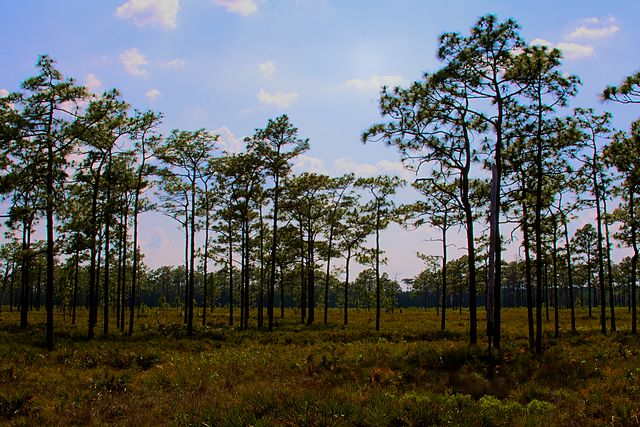 Longleaf Pine Stand