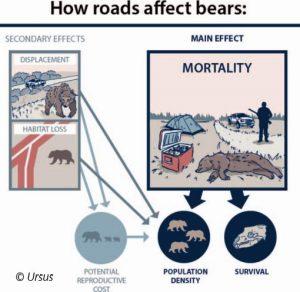 How roads affect bears