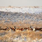 Pronghorn on Seedskadee NWR