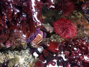 Red sea urchin