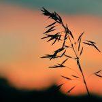 Wild grass at sunset