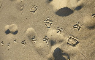 bird_footprints_in_sand