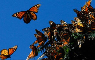 corridor-help-migrating-butterflies