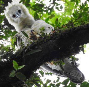 harpy eagle chick Ecuador