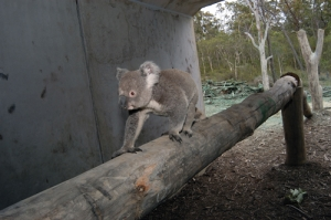 koala_crossing_log