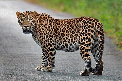 What is behind leopard attacks in northwest Pakistan