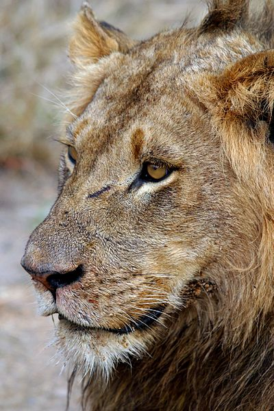 Lion Sabi Sands South Africa