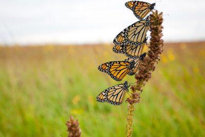 Monarch on the Nature Conservancy's Bluestem Prairie