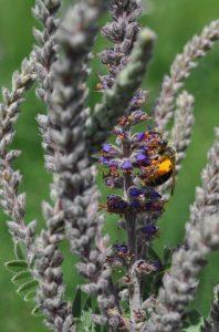 wild bee leadplant
